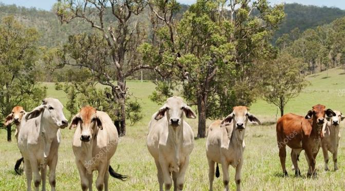 Австралия: Экспорт зерновой говядины достиг рекорда